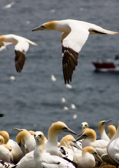 Northern Gannets In Flight Photography Art | Robert Leaper Photography