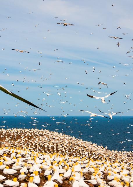 Northern Gannets Photography Art | Robert Leaper Photography