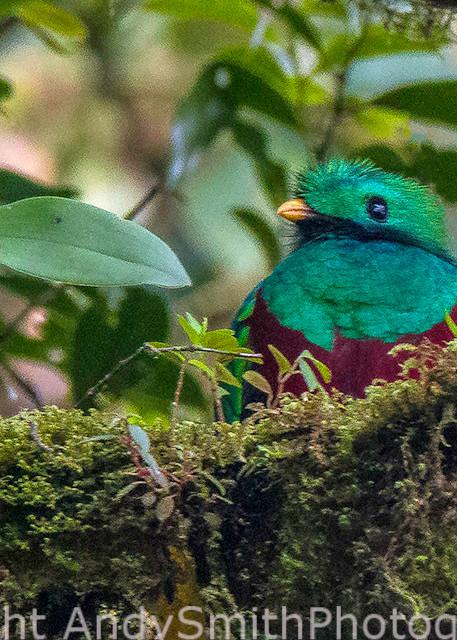 fine art photograph of the Resplendant Quetzal, pharomachrus moccin