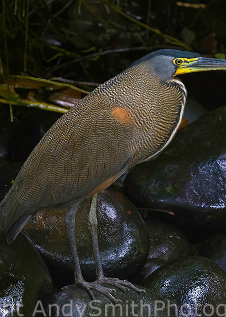 fine art photograph of Bare-throated Tiger-heron, Tigrisoma mexicanum
