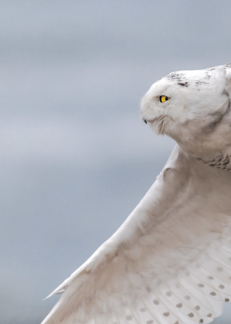 Snowy Owl Flight Art | capeanngiclee