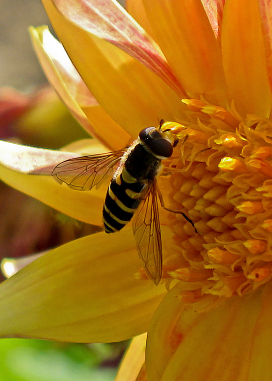 A Bee Tasting the Sweet Nectar of a Flower, by Terry Rosiak