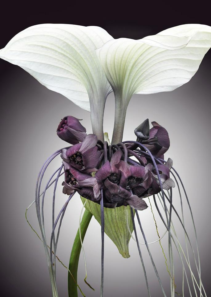 Bat Plant, The Unusual Flower