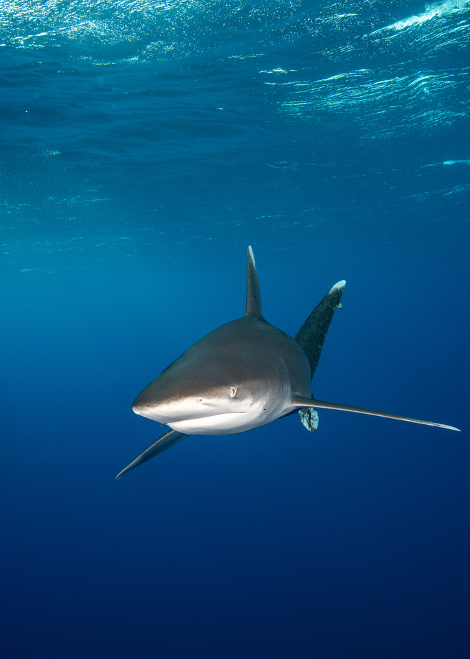Oceanic White Tip Shark is a fine art photograph available for purchase.
