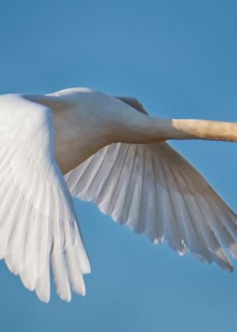 Sengekontacket Swan 1 Art | Michael Blanchard Inspirational Photography - Crossroads Gallery