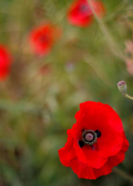 Red Beauty Photography Art | Belathée Fine Arts by Belathée Photography