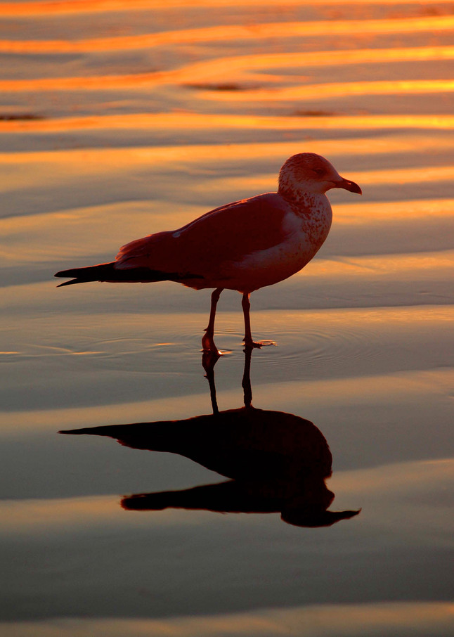 photo of a seagull silhouetted against reflected sunset colors