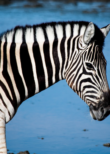 Zebra At Watering Hole, Namibia Art   Roost Studios, Inc.