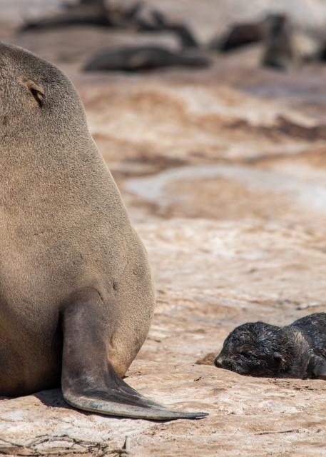 Cape Fur Seal And Newborn Pup Art   Roost Studios, Inc.