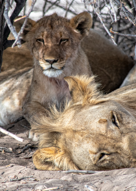 Lions, Male And Female Art | Roost Studios, Inc.
