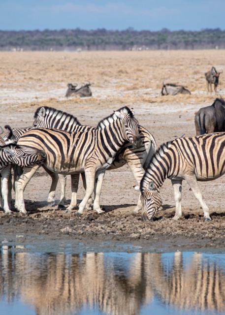 Zebra Reflections, Etosha, Namibia Art   Roost Studios, Inc.