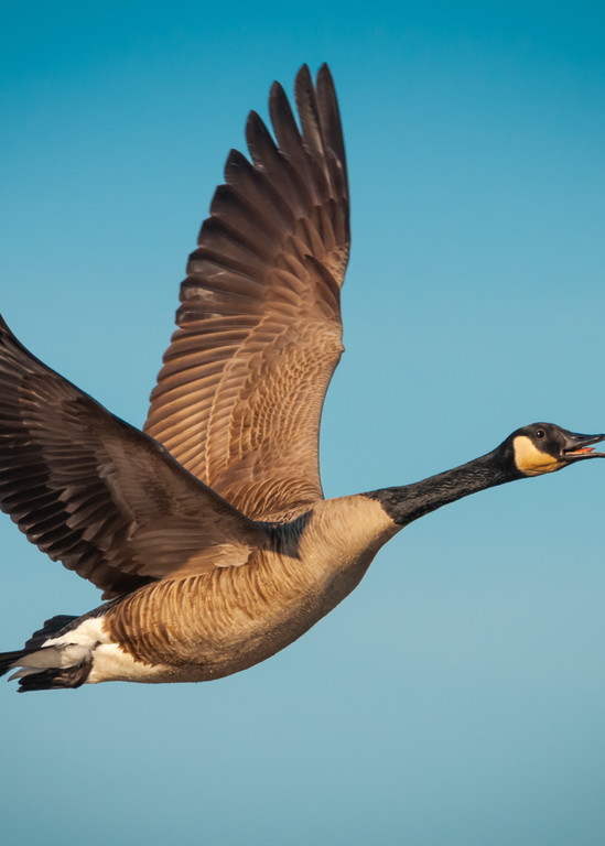 Canada Goose Photography Art | Monteux Gallery