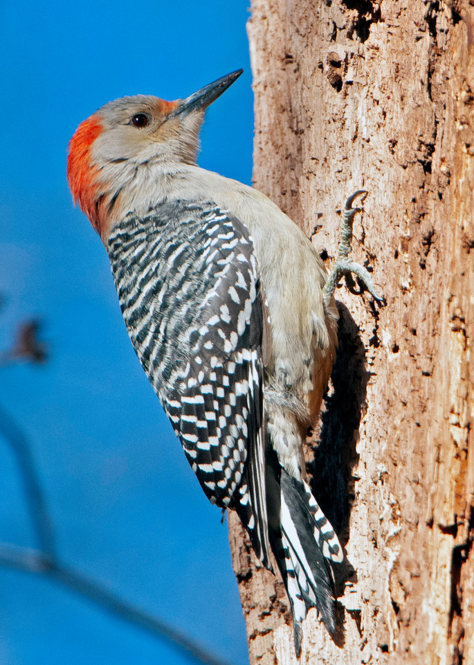 Red Bellied Woodpecker Photography Art | Monteux Gallery