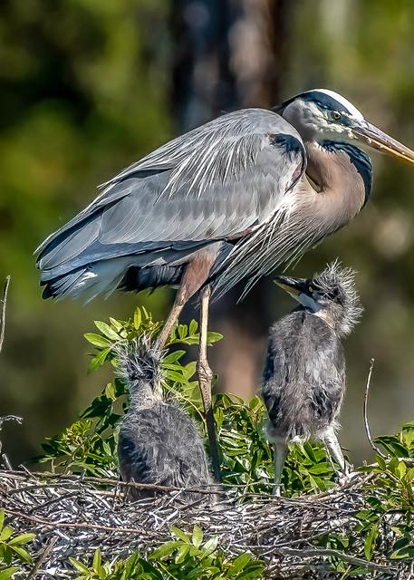 Blue Heron Family Photography Art   jimhooverphoto