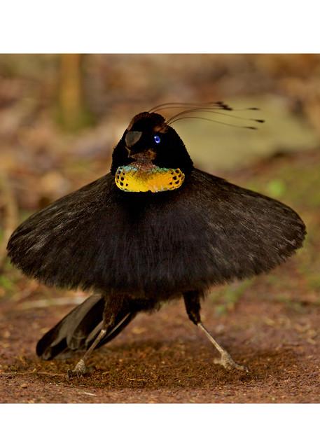 Ballerina dancing bird photograph, Tim Laman birds of paradise.