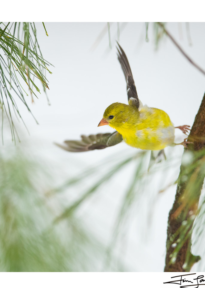 American Goldfinch in flight.  Photograph available as art.