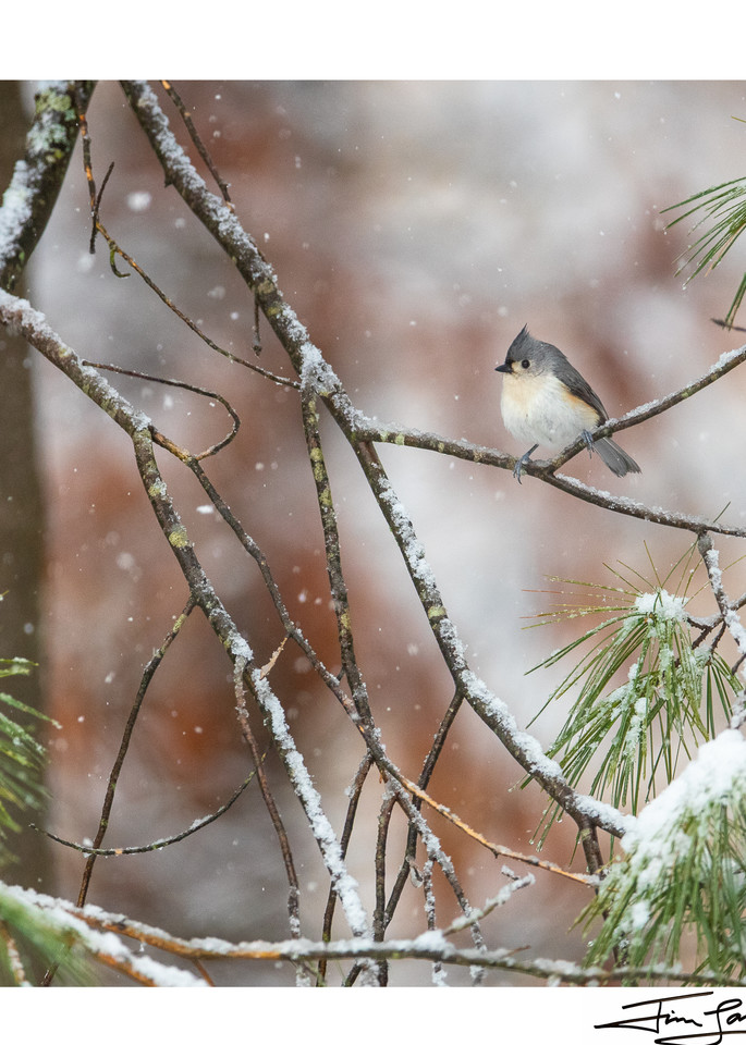 A tufted titmouse in a pine tree.  Award winning National Geographic photographer sells art.