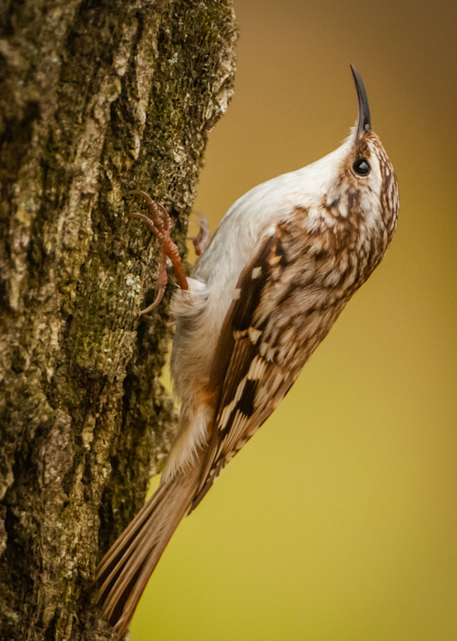 Brown Creeper Photography Art | Monteux Gallery