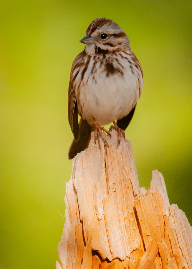 Song Sparrow Photography Art   Monteux Gallery