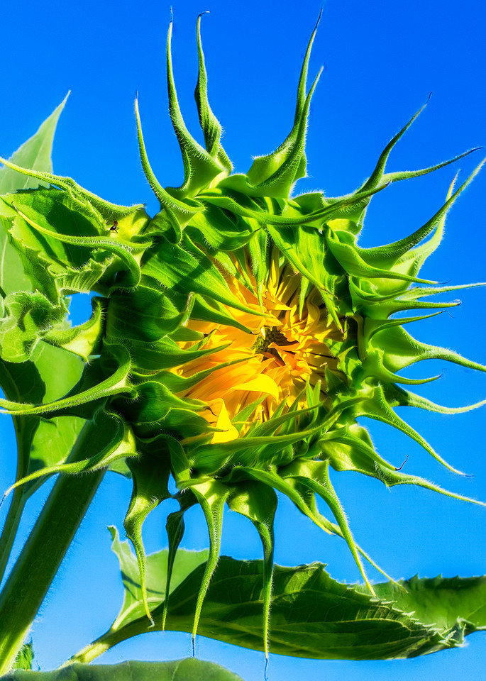 Sunflower Series10 Photography Art | Mark Steele Photography Inc