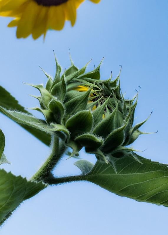 Sunflower Series12 Photography Art | Mark Steele Photography Inc