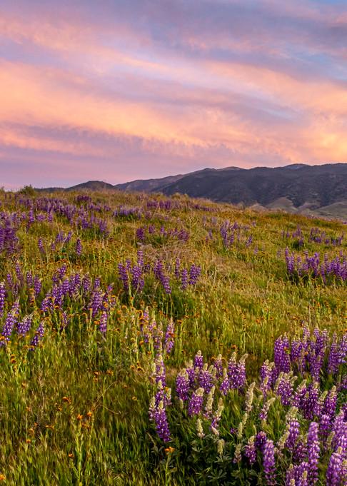 Lupine Mountain Sunset Photography Art | Josh Kimball Photography