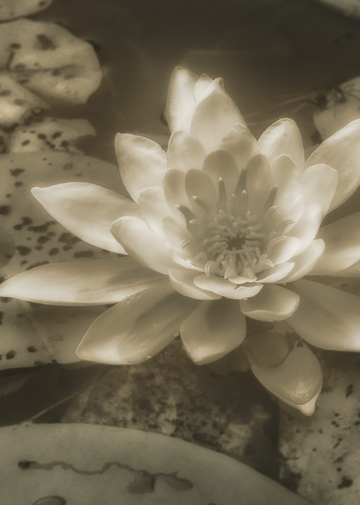 Water Lily 01 Photography Art | Mark Steele Photography Inc