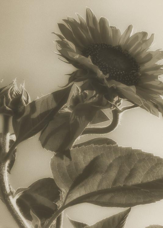Msp Sunflowers Cw05 Photography Art | Mark Steele Photography Inc