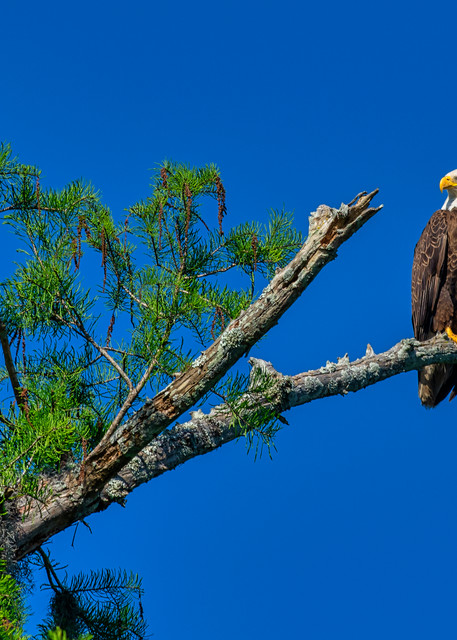 Bald eagle perch - Louisiana wildlife fine-art photography prints