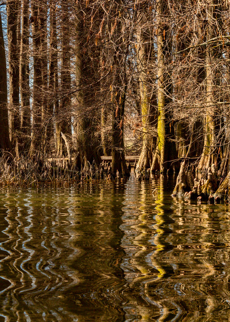 Cypress Trees Reflection Reelfoot Lake 5472   Photography Art | Koral Martin Healthcare Art