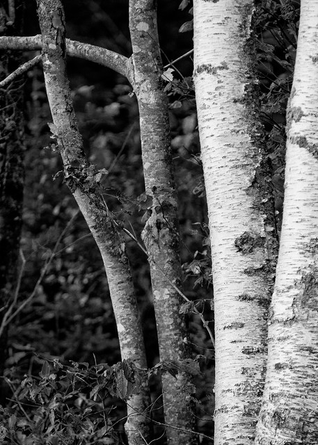 Image of Birch Trees, Maine