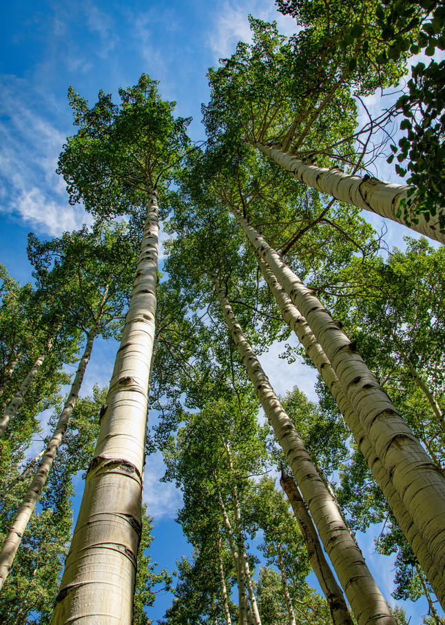 Aspen Looking Up  6803 C S19  Photography Art | Koral Martin Healthcare Art
