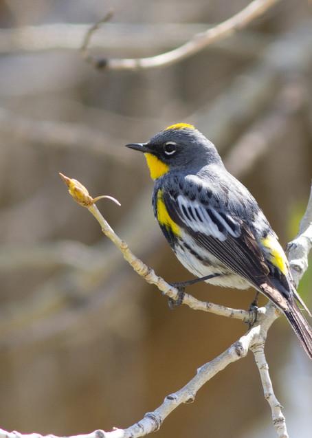 """Circling Back""   Yellow Rumped Warbler Art | Drawn To Nature"