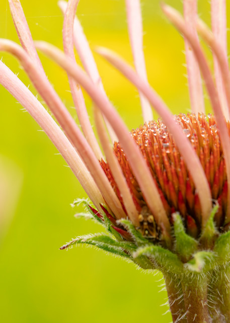Coneflower With Dew Drops 5873 Art | Koral Martin Fine Art Photography