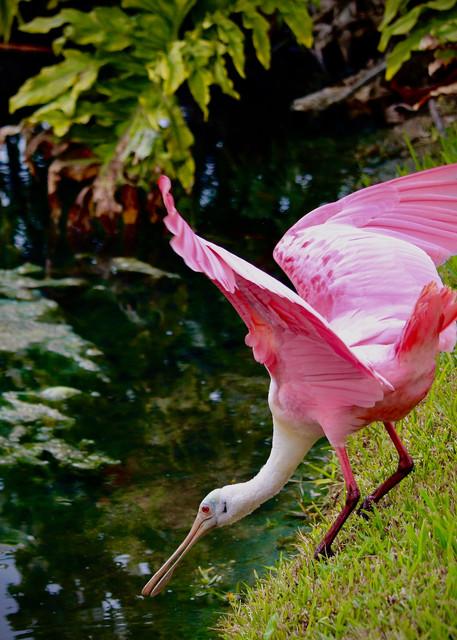 Roseate Spoonbill Photography Art | CJ Harding