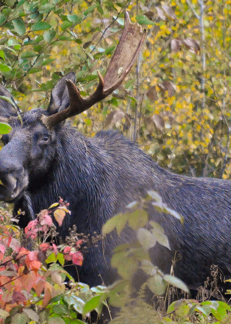 My First Moose Photography Art | Monteux Gallery