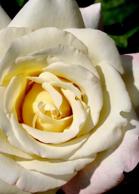 White Rose Photography Art | CJ Harding