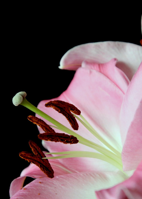 Pink Lily #4 Photography Art | CJ Harding