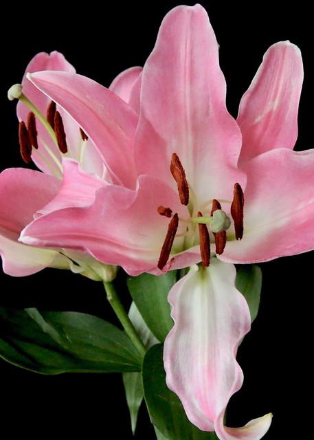 Pink Lily #1 Photography Art | CJ Harding