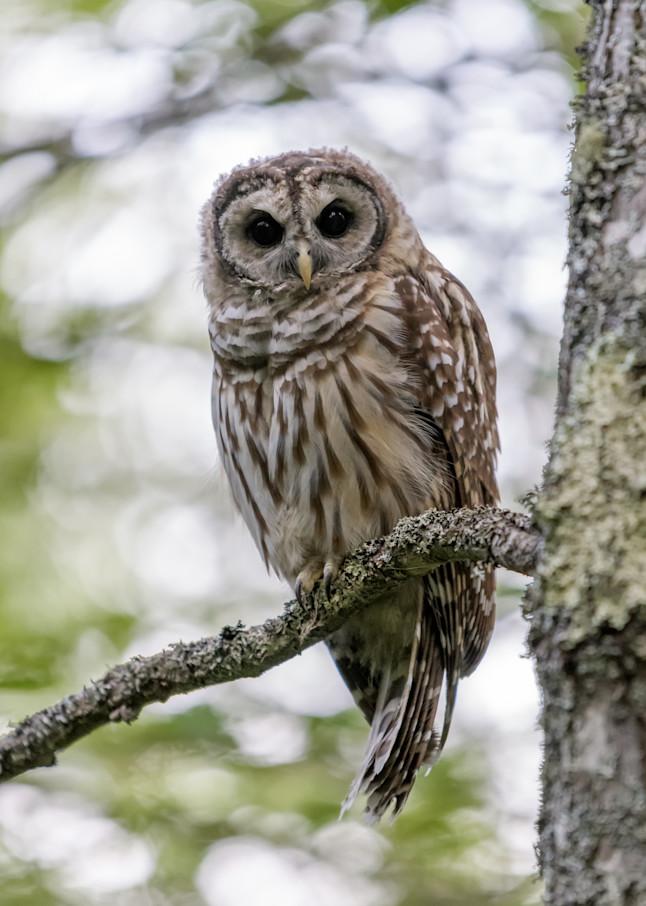 Acadia S Barred Owl Photography Art | Jesse MacDonald Photography