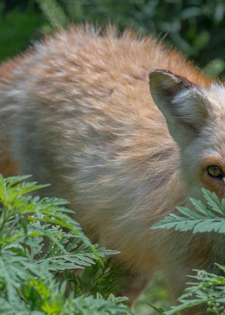 Fox in the Ferns