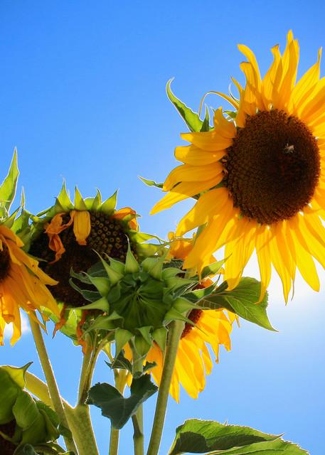 Sunflowers Photography Art | CJ Harding