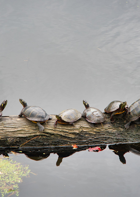 Turtles Photography Art   Paul J Godin Photography