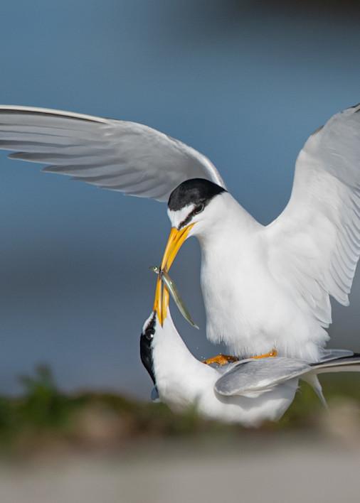 Least Terns Courting Art   Sarah E. Devlin Photography
