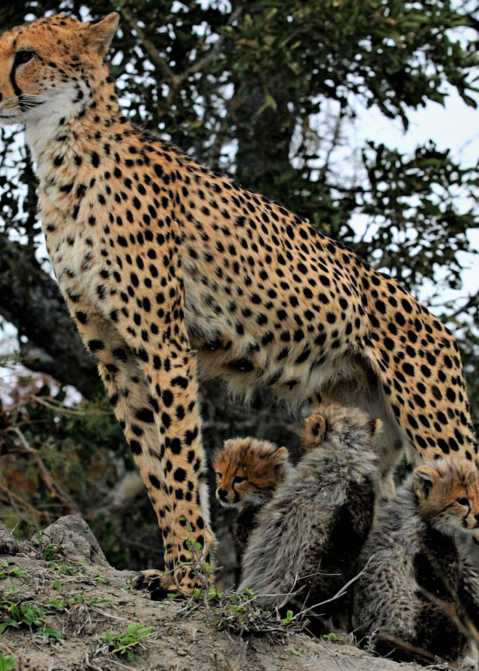 Cheetah Mom And Cubs 2 Art   DocSaundersPhotography
