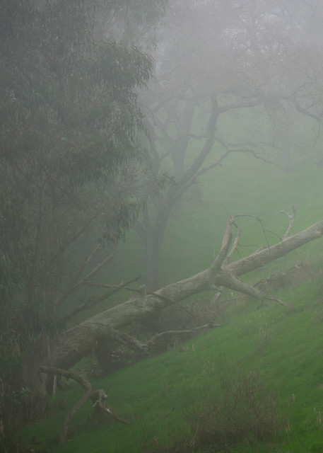 Fallen Giant, Foggy Coast 4 Of Many Photography Art | Ron Olcott Photography