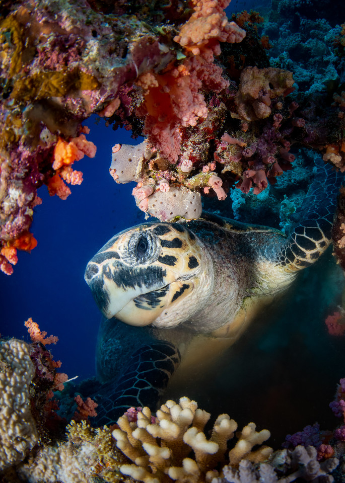 A photograph of a hawksbill turtle investigating a hole through a coral reef is the subject of this underwater fine art photograph for sale.
