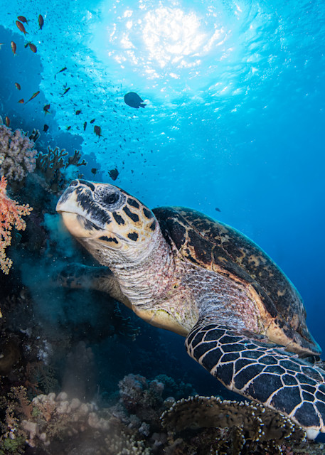 Turtle feeding under water is a photograph created in the sea and is available as a fine art print for sale.