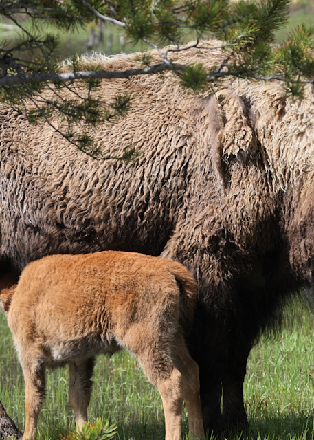 Bison And Calf Art | DocSaundersPhotography