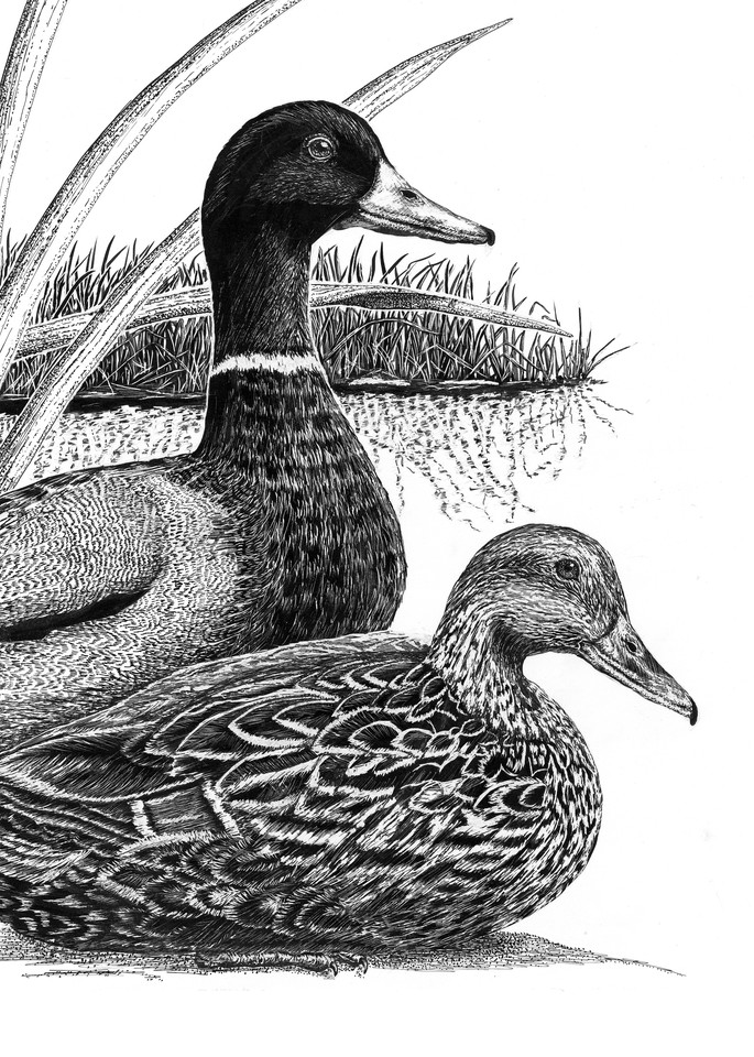 """The Chosen One""   Mallards Art | Drawn To Nature"